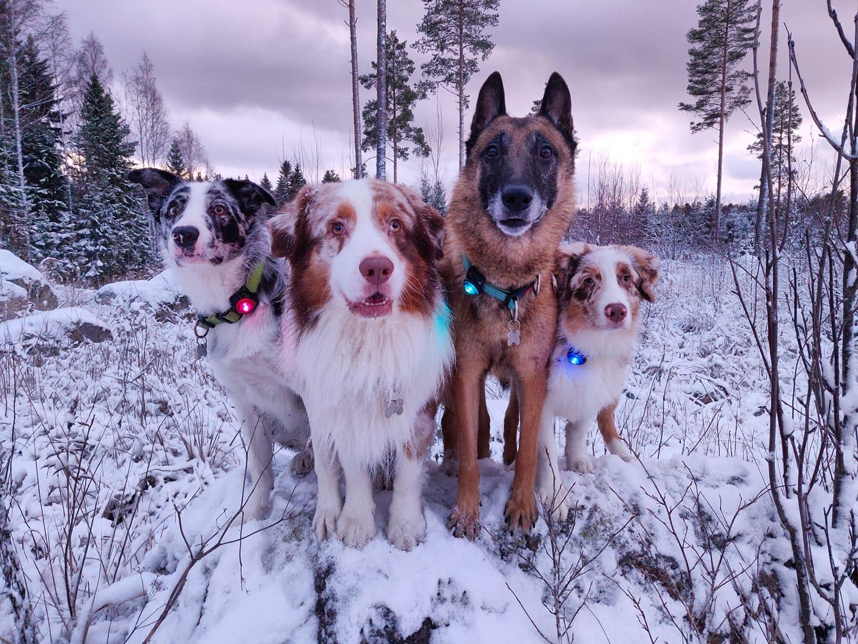 Kolme koiraa, joilla heijastimet kaulassa