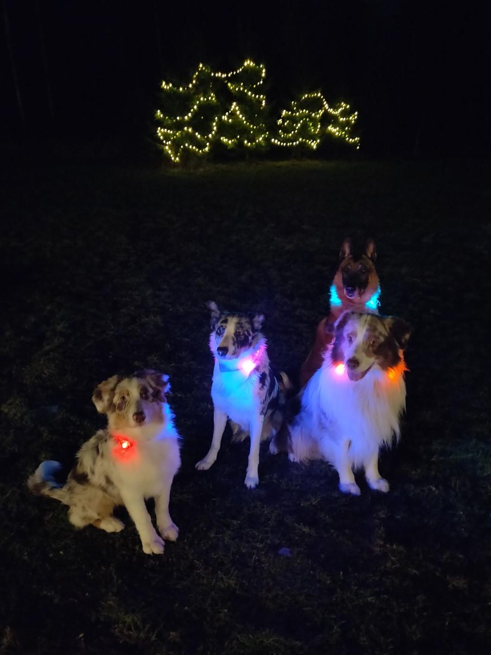 Kolme koiraa pimeässä heijastimilla